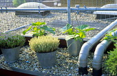 Pipes, thyme and courgettes in galvanized bucket