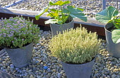 Thyme and courgettes in galvanised buckets