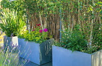 Alchemilla mollis, Cosmos bipinnatus 'Sonata Pink', Betula utilis var. jacquemontii, split willow fence