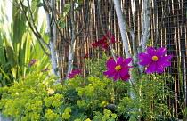 Cosmos bipinnatus 'Sonata Pink', Alchemilla mollis, Betula utilis var. jacquemontii, split willow screen