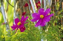 Cosmos bipinnatus 'Sonata Pink'