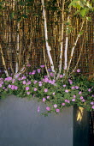 Multi-stemmed Betula utilis var. jacquemontii in container, geraniums, split willow fence