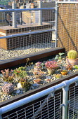 Echeverias and sempervivums in pots sunk into pebble bed