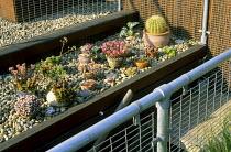 Echeverias, sempervivums, sedums, cacti on roof terrace