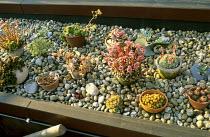 Echeverias, sempervivums, sedums, cacti