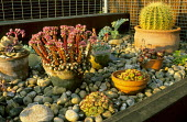 Echeverias, sempervivums in containers set in pebbles on roof terrace