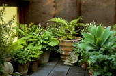 Ferns, hostas, strawberries, erigeron, Agave attenuata in containers