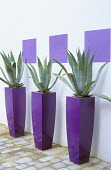 Agave americana in tall purple containers against white painted wall