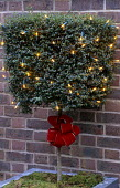 Ligustrum topiary, fairy lights and bow