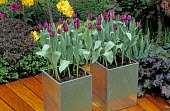 Tulips in galvanised metal containers