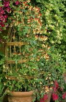 Ipomoea lobata and Fuchsia 'Thalia' in containers, Clematis viticella 'Abundance', honeysuckle, willow wigwam