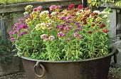 Sweet William in rusted iron tub container