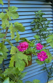 Blue painted shutter, pelargonium in terracotta container