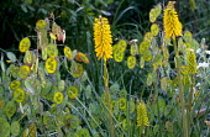Kniphofia with Lunaria annua seedheads