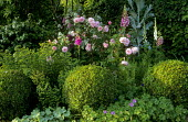 Rosa 'Fritz Nobis' with box balls and foxgloves