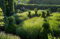 Lavandula angustifolia 'Hidcote Pink' & 'Hidcote Blue'