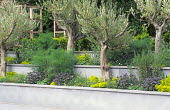 Olive trees in raised borders, concrete walls