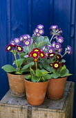 Display of Primula auriculas in terracotta containers