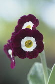 Primula auricula 'Martin Luther King'