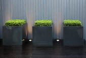 Clipped Buxus sempervirens in square containers
