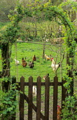 View to orchard with free range chickens