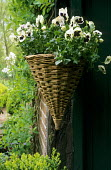 Conical hanging basket with white pansies