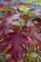 Hydrangea quercifolia 'Camelot'