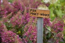 Hydrangea paniculata 'Pinky Winky', label