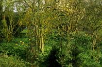 Arch to woodland glade, forsythia, damson blossom