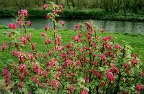 Ribes sanguineum River Avon