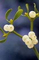 Mistletoe, Viscum album