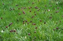 Fritillaria meleagris naturalised in lawn
