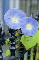 Ipomoea tricolor on railings