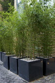 Bamboos in large square metal containers