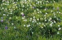 Naturalised Leucojum vernum and crocuses in lawn