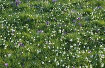 Naturalised Leucojum vernum and crocus in lawn