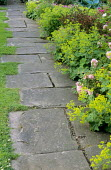 Paved path edged with lawn and Alchemilla mollis and roses