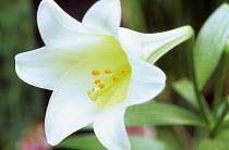 Lilium longiflorum 'White American'