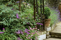 Town garden, Buddleja davidii, Geranium oxonianum, lavender, clipped box in container