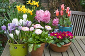 Containers with Hyacinthus orientalis 'Pink Pearl', Tulipa kaufmanniana 'Hearts Delight, Crocus vernus, Narcissus 'Jetfire' and Tête-à-tête', Primula auricula and Bellis perennis