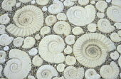 Paving with ammonites, reconstituted stone