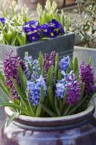 Hyacinthus orientalis 'Woodstock' and 'Sky Jacket', primroses