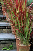 Imperata cylindrica 'Rubra' syn. Imperata cylindrica 'Red Baron'