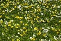 Naturalised Narcissus 'Toto', 'Oz', and 'Kokopelli'