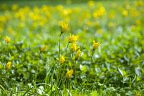 Tulipa sylvestris naturalised in lawn