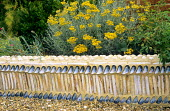 Low wall with razor shells & mussels, Helichrysum italicum