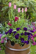 Planted chimney pots, Tulipa 'China Pink', violas