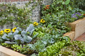 Kitchen garden, fan-trained plum against flint stone wall, lettuces, cabbages, radishes, tomatoes, Broad beans, sunflower