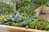 Dorset Cereals Edible Playground, fan-trained plum on flint stone wall, lettuces, cabbages, radishes, sunflowers, Broad beans