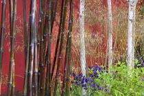 Betula utilis var. jacquemontii, Stipa gigantea, Phyllostachys nigra, red painted wall, aquilegia